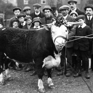 Onlookers with a prize Hereford bull.