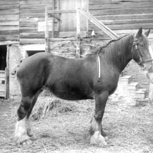 G36-541-11 Heavy horse with beribboned mane and handler.jpg