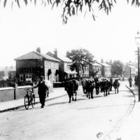 Albert Dutton with his cattle, Shaftsbury Road