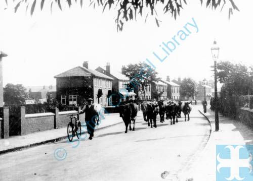 Albert Dutton with his cattle Shaftsbury Road Birkdale