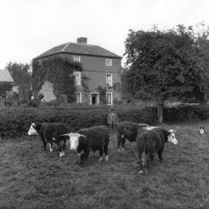 G36-314-01 Four Hereford bulls with farmer and dog. Three storied house in background.jpg