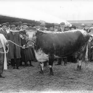 G36-226-06 Long horned cow with handler at showground.jpg