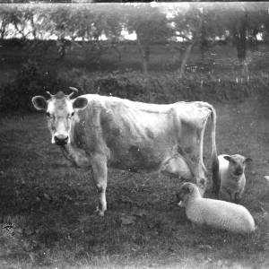 G36-325-11 Thin cow with two sheep.jpg