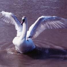 Swan Landing in Marine Park