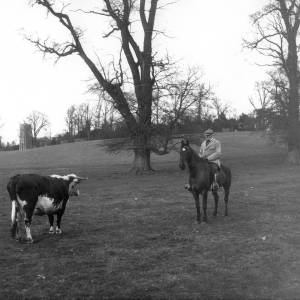 G36-315-08 Farmer and cow on a field on Brockhampton Estate, with Brockhampton Church in the background.jpg
