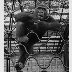 408 - Primate climbing fence