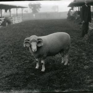 G36-218-19 Ram with doubly curled horns.jpg