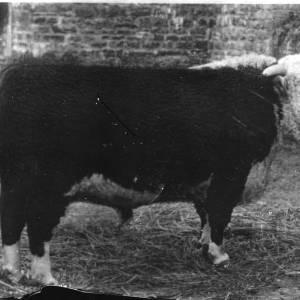 G36-209-13 Hereford Bull standing in yard on straw.jpg