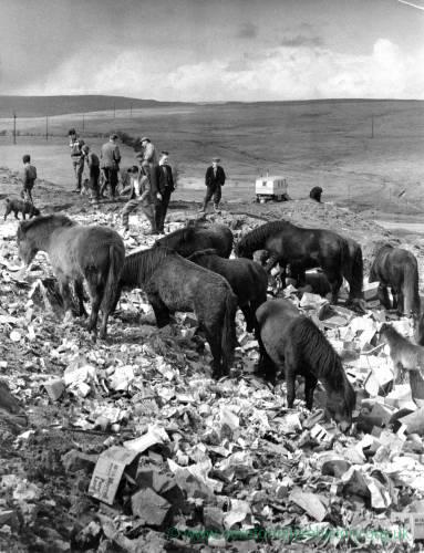 Several Welsh ponies rummaging on wasteland.