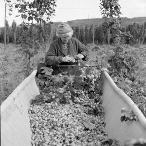 A Hop Picker - Jones Family, Larport Farm, Frome Mordiford, Hereford, 1962