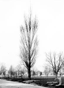 Poplar trees on Commonside West, Mitcham