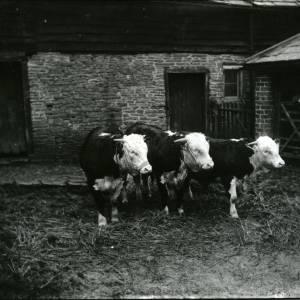 G36-013-07 Three bulls with a man leaning on gate.jpg