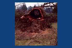 Cricket Green, Mitcham: Dutch Elm disease