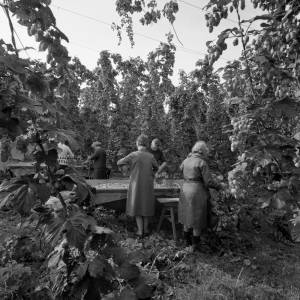 A Group of Pickers Pick Hops into A Crib in Marden, 1967