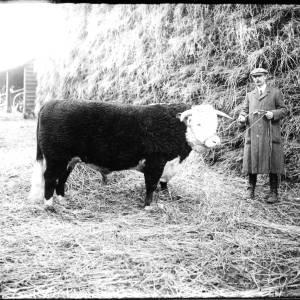 G36-328-07 Hereford bull with handler.jpg