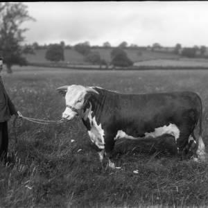 G36-303-21 Man holding young bullock.jpg