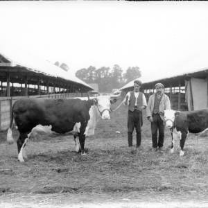 G36-226-11 Hereford cow and calf, both on halters, with handlers at showground.jpg