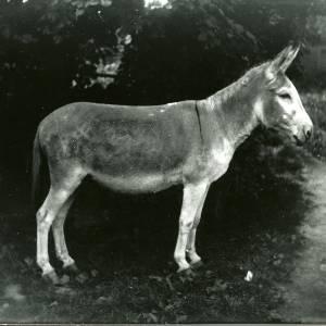 G36-192-13 Mule or donkey.jpg