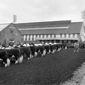 Cattle awaiting the annual bull show and sale at Hereford market in January 1972.
