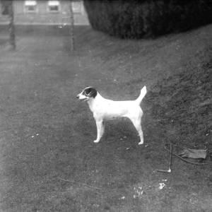 G36-543-12 Terrier dog on a garden lawn.jpg