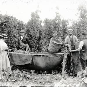 Hop picking with tally sticks, Newton, Dilwyn, 1903