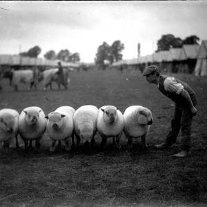 G36-329-14 Six sheep with handler at show.jpg