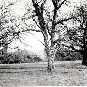 Oak Trees, Rotherwas, Herefordshire