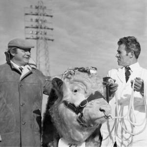 A prize bull ready for the annual bull show and sale at Hereford Cattle Market Jan 1972.