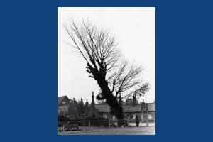 Cricket Green - Death of an Elm tree