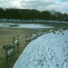 Swans on lake in South Marine Park