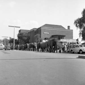 Elephants of Billy Smart's Circus on Commercial Road, Hereford, 1962