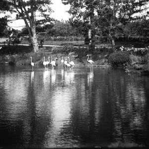 G36-325-09 A pool with flamingoes.jpg