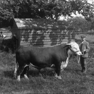 G36-303-06 Hereford bull held by farm worker.jpg