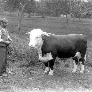 G36-541-13 Bull and handler in an orchard.jpg