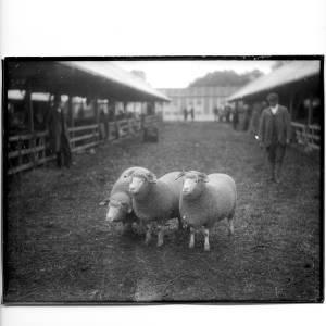G36-331-08 Three horned sheep  at a market or a showground .jpg
