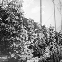 McGredy's Irish Roses at the Southport Flower Show in 1929.