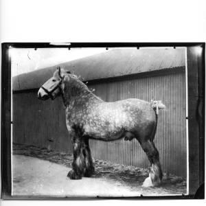 G36-331-04 Large dappled stallion.jpg