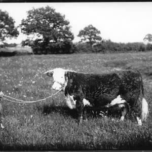 G36-041-02 Bull with handler .jpg