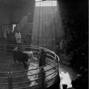Hereford Bull at Langford sale ring, January 1963