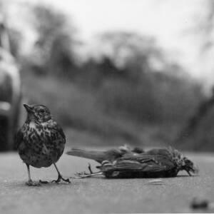 398 - Thrush standing by dead bird