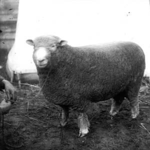 G36-325-10 Sheep with handler.jpg