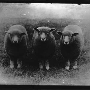 G36-099-10 Three sheep without horns.jpg
