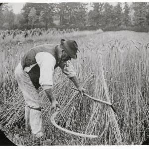Harvesting wheat using a bagging hook