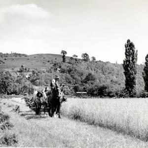 Harvesting in Mordiford, c1940