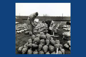 Carters Tested Seeds: Inspecting mangelwurzels