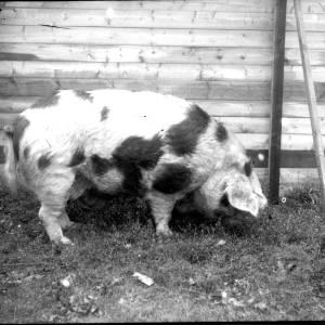 G36-330-02 Gloucester Old Spot pig.jpg