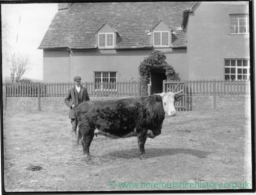 G36-036-12 Hereford cow with man outside of house. jpg