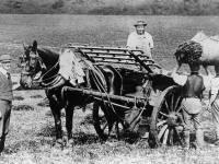 Harvesting Mitcham lavender