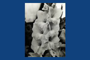 Carters Tested Seeds: Gladioli cultivar