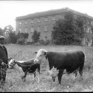 G36-242-02 Man with cow and calf in front of Llanwern Park Newport